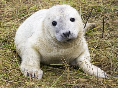 Grey Seal Pup Production