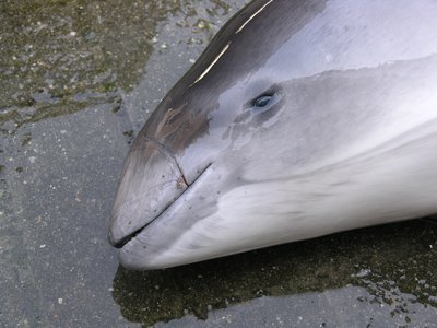 Harbour Porpoise Bycatch